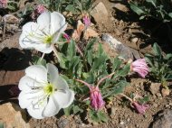 Possibly Oenothera caespitosa in Onagraceae, found in East Elk Creek