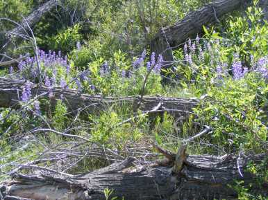 A patch of Lupine in East Elk Creek