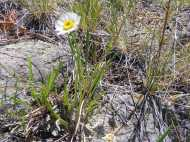 Out of focus flower image of a single lone daisy in East Elk Creek