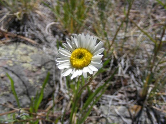 A lone daisy or fleabane, perhaps in the genus Erigeron