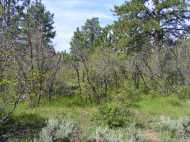 Ponderosa pine and Gambel oak, on the Simms Mesa Trail No. 115.1A, Uncompahgre National Forest