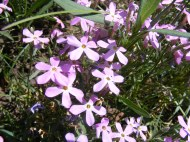 I believe this to be a pink Phlox, on the Simms Mesa Trail No. 115
