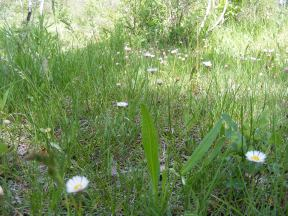 Daises in grasses along Simms Mesa Trail No. 115