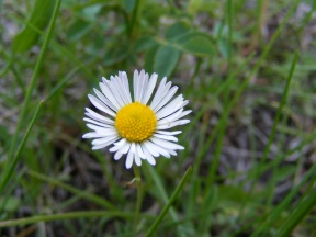 A daisy or fleabane but part of the Aster Family