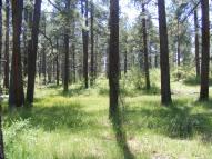 Ponderosa pine in McPhee Park