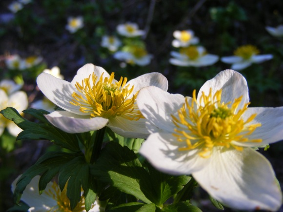 On the Mill Lake Trail No. 532, a Globeflower or two in a field of many