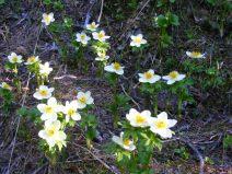 Globeflowers galore!