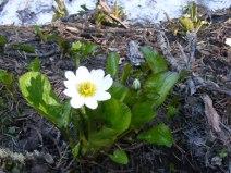 A Marsh Marigold on Mill Creek