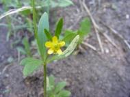 Perhaps Ranunculus spp., in Ranunculaceae, on Trail Gulch