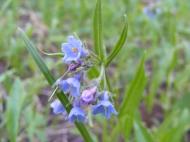 Mertensia spp. on Trail Gulch, in Boraginaceae