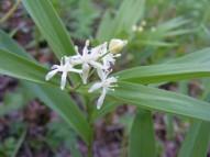 Maianthemum stellatum in Asparagaceae, on the Doctor Park Trail No. 424