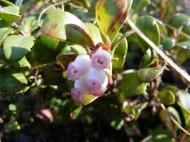 Arctostaphylos uva-ursi in Ericaceae, on Trail Gulch