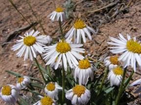 Something in Asteraceae