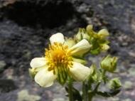 This might be Drymocallis arguta in Rosaceae