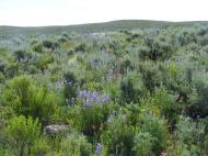 Violet Lupine spp. highlight the flower growth in the sagebrush steppe