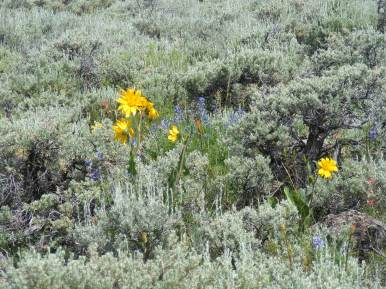 Wildflowers in the sagebrush steppe