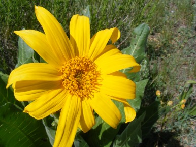 Part of the Aster Family, a Mule's Ears
