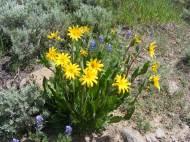 Purple Lupine surround a Mule's Ears sunflower