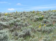 The sagebrush steppe alive in mid-June with wildflowers