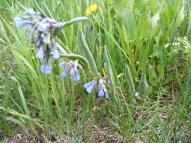 Mertensia spp. part of the Borage Family near Big Alkali Lake