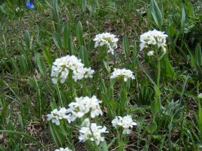 I think this plant, near Big Alkali Lake, is Candytuft, a Mustard