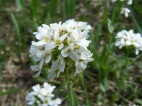 Close up of what I think is Candytuft, or Noccaea montanum, part of Brassicaceae, near Big Alkali Lake