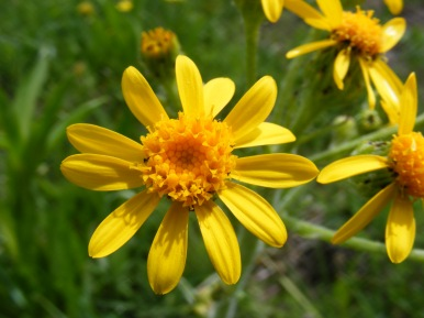 Close up of a yellow flower in the Aster Family