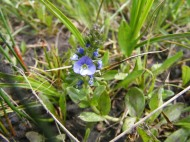 I'm not sure but this might be a Veronica spp., part of Plantaginaceae