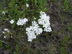 A Phlox spp. south of Red Mountain