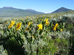 Wyethia amplexicaulis, a sunflower in Asteraceae; From left to right: Red Mountain, Whetstone Mountain, the distant snow clad Elk Mountains as the head of the Slate River, and Round Mountain