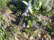 A second blue Penstemon spp., in Plantaginaceae on Gunnison National Forest Road 813.2A