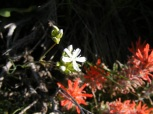 Maybe a white saxifrage among the paintbrush on Gunnison National Forest Road 813.2A