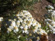 Achillea millefolium in Asteraceae