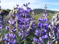 Lupine closeup, part of the Pea Family, on Gunnison National Forest Road 813.2A