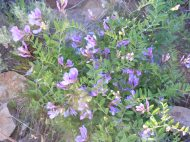 A second purple vetch on Gunnison National Forest Road 813.2A
