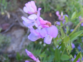 Closeup of the second purple vetch on Gunnison National Forest Road 813.2A