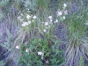 A geranium on Gunnison National Forest Road 813.2A