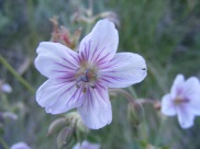 Closeup of the Geranium spp. on Gunnison National Forest Road 813.2A