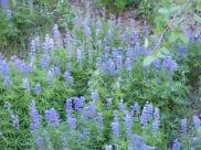 A patch of Lupine in the forest along Gunnison National Forest Road 813.2A