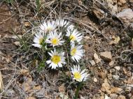A small alpine daisy on Cement Mountain