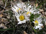 Closeup of the small alpine daisy seen on Cement Mountain