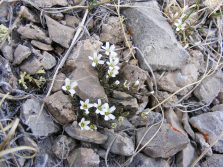 On Cement Mountain, maybe a Minuartia spp. in Caryophyllaceae