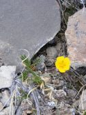 Possibly a Geum spp. on Cement Mountain; in Rosaceae