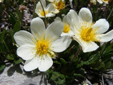 Perhaps some Dryas octopetala in Rosaceae on Cement Mountain