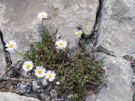 A daisy on Cement Mountain
