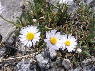 Something in Asteraceae on Cement Mountain