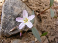 Probably Claytonia lanceolata, in Portulacaceae, on Cement Mountain