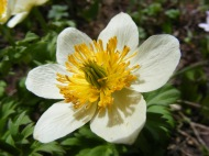 Globeflower in the Buttercup Family
