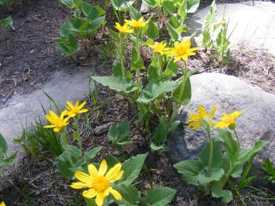 A patch of Heart-leaf Arnica on Rarick Gulch Road