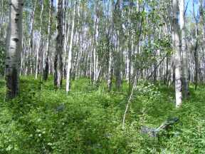 Aspen forest on the ridge above Rarick Gulch